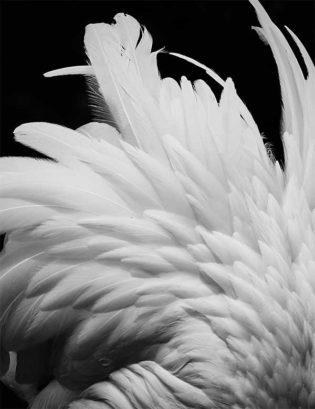 Black-Parrots-Feathers